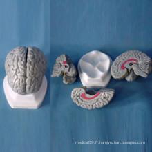Modèle anatomique du cerveau humain pour l'enseignement (R050103)