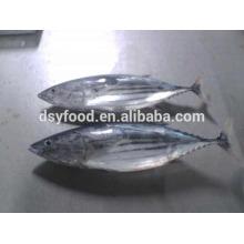 Pular macaco peixe-atum
