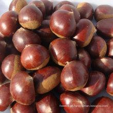 Chestnut saboroso fresco novo da fábrica