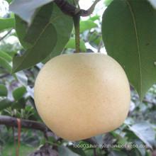 New Season High Quality Golden Pear