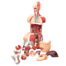 TopRanking 12016 modelos de tronco humano, tamanho da vida 85 cm modelo de anatomia médica do músculo do tronco