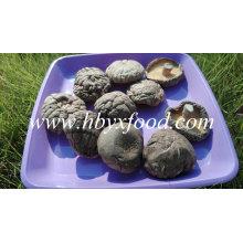 Stemless seta de shiitake seca y suave