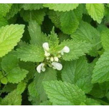 Lemon Balm Extrac Support for Good Health