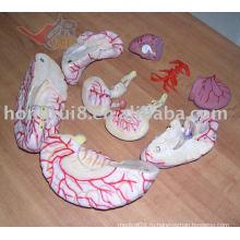 ISO с высокой детализацией модели мозга с мозговой артерией, мозг с артерией