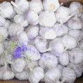 Bonne qualité de l'ail blanc frais et blanc