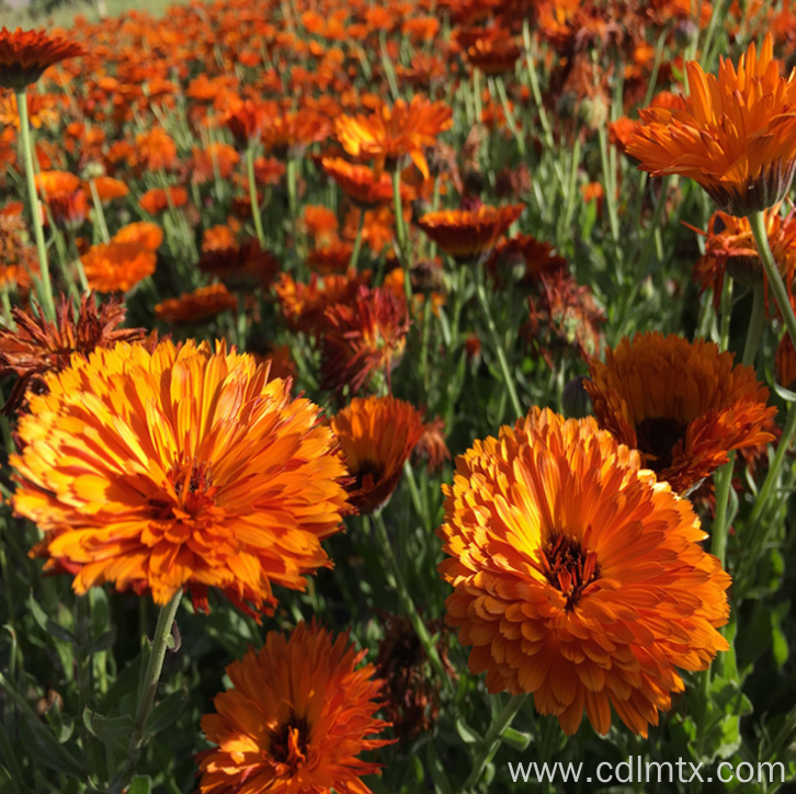 High quality Calendula Officinalis (marigold) seeds