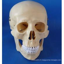 Modèle médical de la crâne humain de haute qualité pour l'enseignement (R020611)