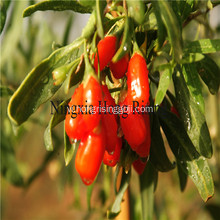 Fresh Himalaya goji berries wild wolfberries