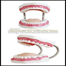 Modèle de soins dentaires ISO (32 dents), modèle dentaire médical HR-403