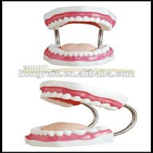 Modelo de cuidados dentários ISO (32 dentes), modelo de dentes médica HR-403