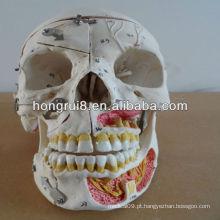 2013 avançado crânio humano com sangue e nervos