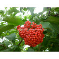 Natural 25% Anthocyanidin From Elderberry Extract