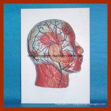 Modèle de demi-tête avec des nerfs de vaisseaux sanguins de la musculature