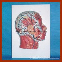Модель с половинной головкой с нервами нервной системы с мускулатурой