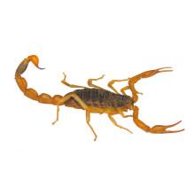 Fonte de Fábrica 100% natural de extrato de escorpião em pó