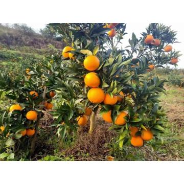 Naranja Navel Fresh New Crop Sweety