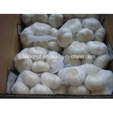 Pure White Garlic 5.0cm-5.5cm 500g/10kg Carton
