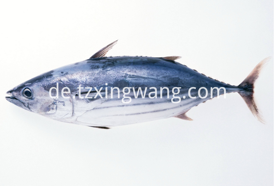Whole Round Sea Frozen Skipjack