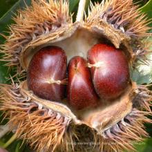 Exportação 60-80PCS / Kg New Crop Chestnut