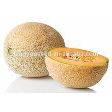 MSM131 Xinzao alta qualidade sementes de melão musk híbrido sementes de melão doce