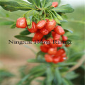 Ningxia Organnic goji berries superfruit wolfberry