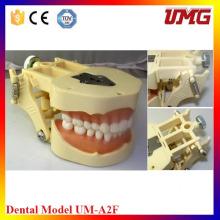 Chinese Dental Material Dental Jaw Model