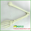 WHOLESALE SIMULATION BONE 12325 Medical Anatomy Artificial Upper Limb Bone , Orthopaedics Practice Simulation Bone