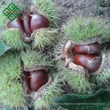 bulk shelled Chinese chestnuts
