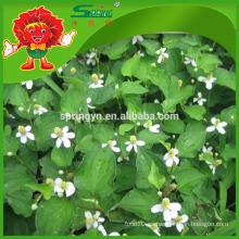 Pure Houttuynia Yu Xing Cao Hiedra natural houttuynia cordata thunb