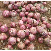 Nueva cebolla roja fresca del cultivo (5-7cm)