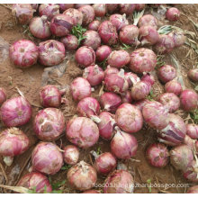 New Crop Fresh Red Onion (5-7cm)
