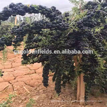 2017 vente chaude noir goji berry jeunes semis