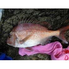 Peixes vermelhos limpos do Seabream