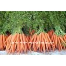 hohe Qualität und niedrigen Preis Karotten
