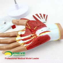 MUSCLE08 (12031) Mão Humana Anatomia Muscle 4-Parts Medical Education Modelo 12031