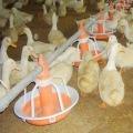 Система кормления гусей /уток Оборудование для птицеводства