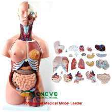 TORSO06 (12017) modelos educacionais anatômicos do torso de 45CM unisex 23 partes 12017