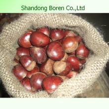 Importar Chestnut Fresco De Shandong