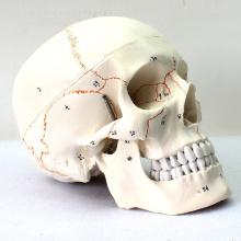 SKULL05 (12331) Medical Science Humans Crânio Modelos Rotulados
