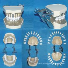 Modèle de anatomie des dents infirmières amovibles de taille naturelle (28 dents)