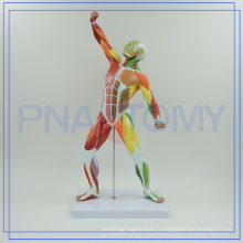 PNT-0342 couleur corps humain musclé MODÈLE