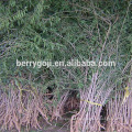Live Goji Berry Plant/Organic tree/High survival rate