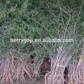 Live Goji Berry Plant / Органическое дерево / Высокая выживаемость