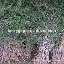 Live Goji Berry Plant / Arbre biologique / taux de survie élevé