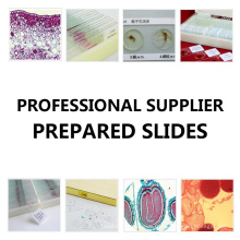 Diapositives préparées pour l'histologie médicale humaine