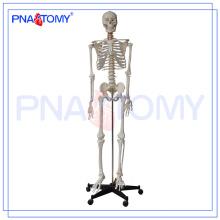 PNT-0101h Tipo de modelo de esqueleto de 180 cm e assunto de ciência médica
