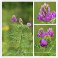 Secado Milkvetch, Radix astragali, Astragalus membranaceus, mongholicus, chrysopterus, floridus, tongulensis, tibetano