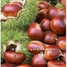 sell chinese fresh raw chestnut