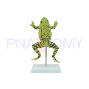PNT-0820 enlarged realistic frog model