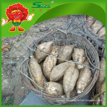 Kudzu fresco cultivado orgánico de Kudzu para la venta